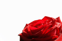White card with red rose Stock Photos