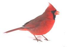 On White cardinal masculino fotos de stock royalty free