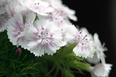 White carnation Stock Photo