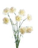 White carnation Royalty Free Stock Photos