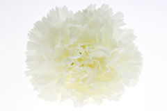 White carnation Stock Image