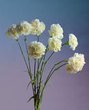 White carnation Royalty Free Stock Image