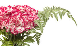 White carnation with dark pink petal edges Royalty Free Stock Image