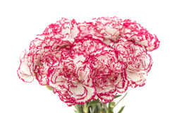 White carnation with dark pink petal edges Stock Photography