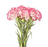 White carnation with dark pink petal edges Royalty Free Stock Photos