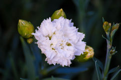 White Carnation. With a few buds in various stages of bloom Stock Photos
