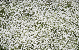 White carnation Stock Images