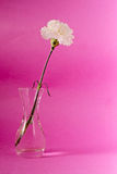 White carnation flower Stock Photos