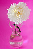 White carnation flower Royalty Free Stock Photography