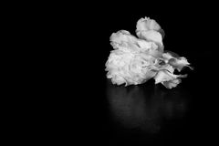 White carnation flower on black background with a space for text Royalty Free Stock Image