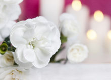 White carnation flowers Royalty Free Stock Photography