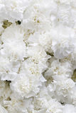 White carnations background royalty free stock photos