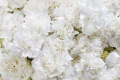 White carnations background royalty free stock image