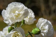 White carnations close up