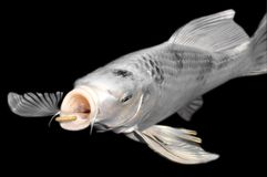 White carp koi on black background Royalty Free Stock Photography