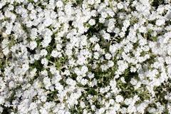 White carpet of flowers Stock Photos