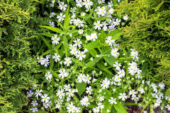 White carpet of small white flowers between coniferous bushes royalty free stock photo