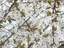 White carpet. A tree during the flowering in spring Royalty Free Stock Image