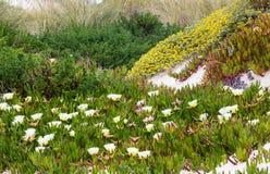 White Carpobrotus  flowers on sandy hill (Carpobrotus). Stock Image