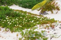 White Carpobrotus  flowers on sandy hill (Carpobrotus). Stock Photos