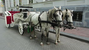 White Carriage Horses. Drawn by two white horses stock video footage
