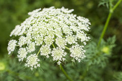 White carrot flowers Stock Photography