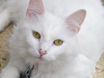 White cat. Looking straight into the camera royalty free stock photo