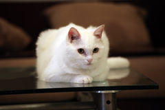 White cat. Is having a rest on the table after lunch Royalty Free Stock Image