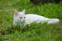 White cat. The small cat outdoor  on the grass Stock Photos