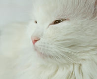 White cat. Royalty Free Stock Images
