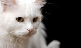 White Cat Royalty Free Stock Photos