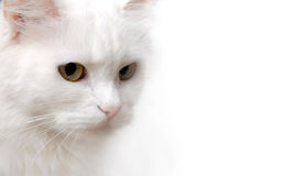 White Cat. Isolated on white background stock photo