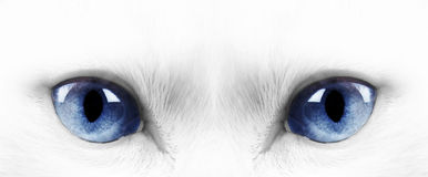 White cat. White angora cat with blue eyes Stock Photography