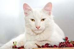 White Cat. This image represents a cute white cat Royalty Free Stock Image