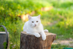 White cat Stock Photography