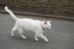 White cat. A white cat on the road stock images