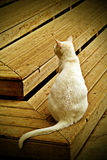 White cat. Sit down on the wood step Royalty Free Stock Photography