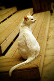 White cat. Sit down on the wood step Royalty Free Stock Photos