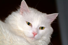 White cat. Close-up Royalty Free Stock Photos