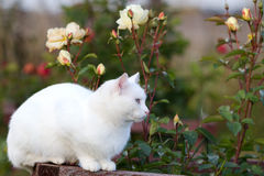 White cat. In garden with roses Royalty Free Stock Photo