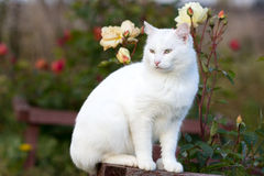White cat. In garden with roses Stock Images