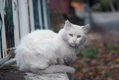 White cat. Picture of elegant white cat, persian breed Stock Images
