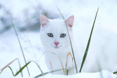 White cat. In white snow Stock Image