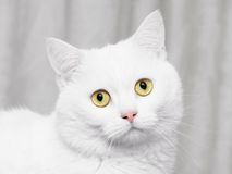 White cat. With big eyes Stock Images