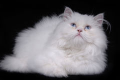 White cat. Young white kitten isolated on black background royalty free stock photography
