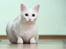 White cat. With green eyes Royalty Free Stock Photo
