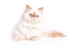 Free White Cat Royalty Free Stock Image - 57669756