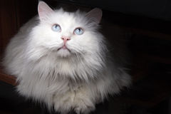 A white cat. Is attracted by the food of the top Royalty Free Stock Images