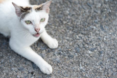 White cat with anger face on the ground. White cat with anger face on the sand stone ground Royalty Free Stock Images