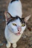 White cat. Royalty Free Stock Image